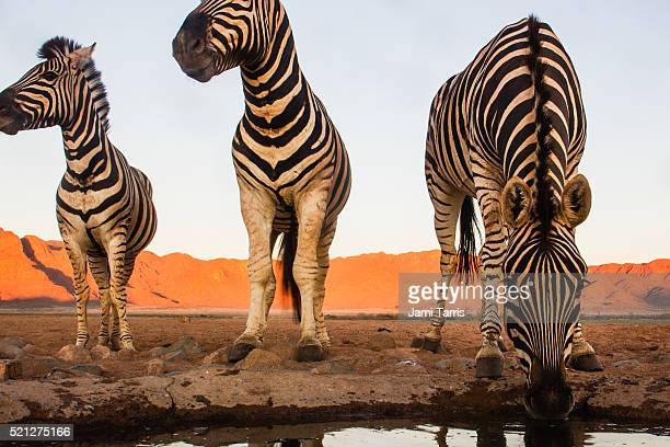 Burchell's zebras drinking in the Namib Desert, eye contact, wide angle, low angle
