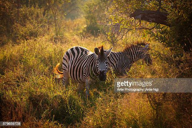 Burchell's Zebras in the Morning Light, Kruger National Park, South Africa