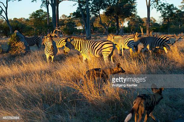 Burchell's zebras interacting with African wild dogs at the Linyanti Reserve near the Savuti Channel in northern part of Botswana