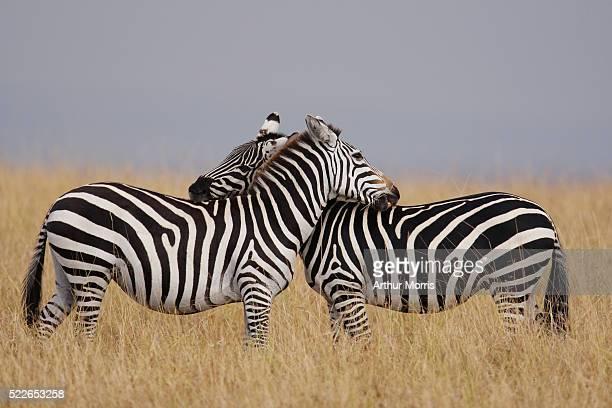 Burchell's Zebras Neck in Neck
