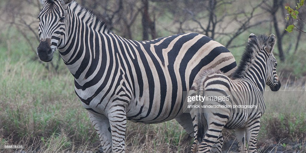 Burchell's zebras : Stock Photo