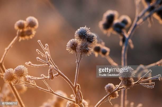 Burdock seed heads