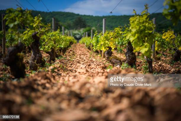 burgundy chardonnay vine stock, france - pinot noir grape stock photos and pictures