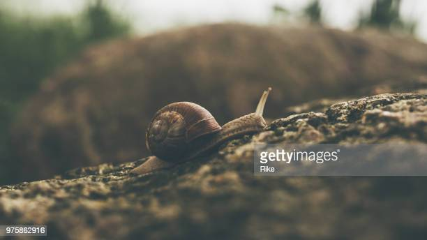 burgundy snail in the green grass - snail stock photos and pictures
