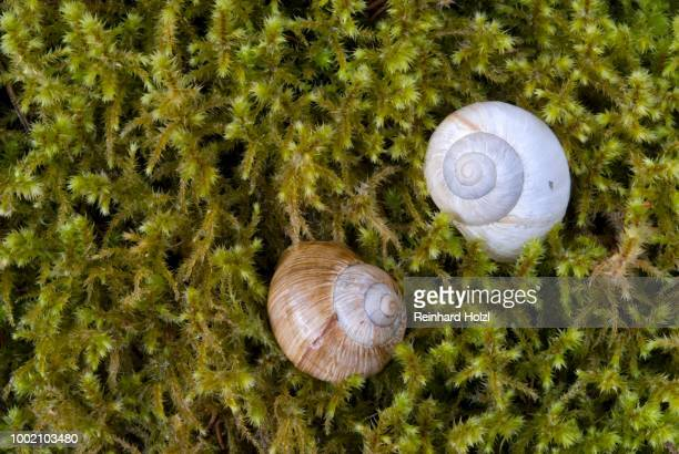 burgundy snail or roman snail or edible snail (helix pomatia) shells, upper isar river, bavaria, germany - {{asset.href}} stock pictures, royalty-free photos & images