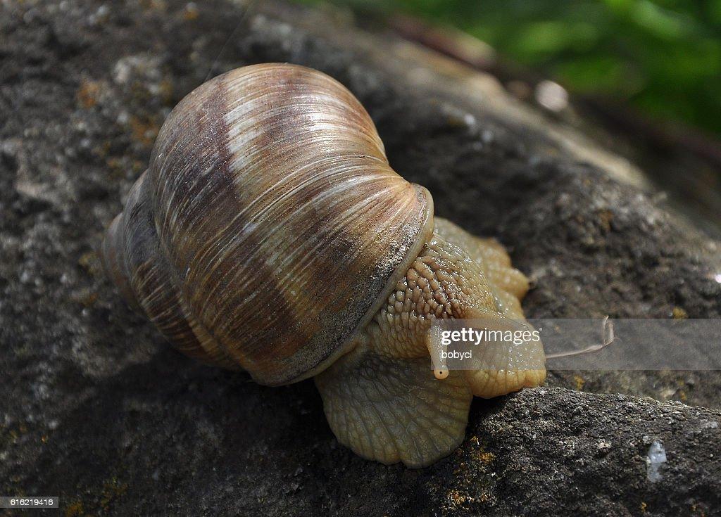 Burgundy snail (Helix pomatia) : Stock Photo
