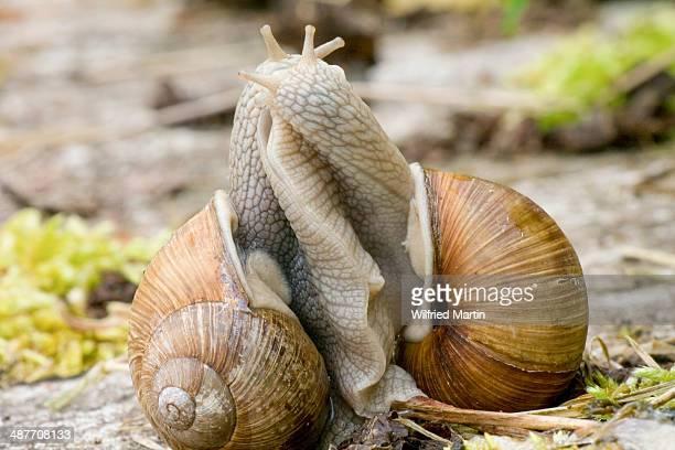 burgundy snails -helix pomatia-, mating, germany - begattung kopulation paarung stock-fotos und bilder