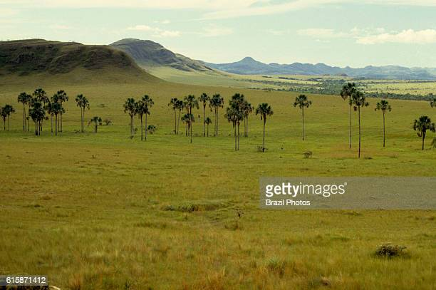 Buriti vegetation of Cerrado ecosystem the regional name given to the Brazilian savannas alson known as the moriche palm at Campo Limpo in Parque...