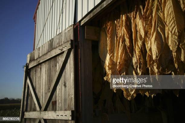 burley tobacco hangs inside a tobacco barn in kentucky - tabakwaren stock-fotos und bilder