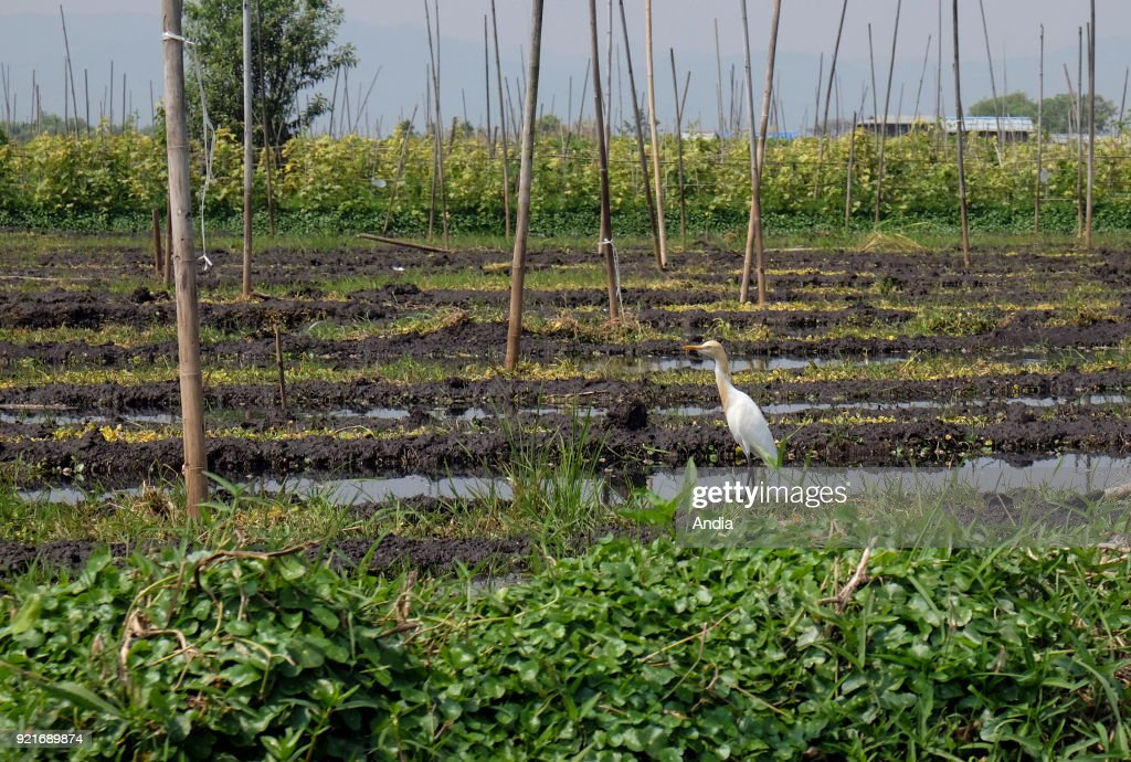 bird, wader on a barge in the middle of the floating gardens surrounding Inle Lake, land belonging to the Intha people. Agriculture, parcels of Kela floating gardens.