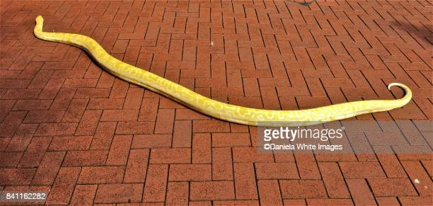 burmese albino python - yellow burmese python stock pictures, royalty-free photos & images