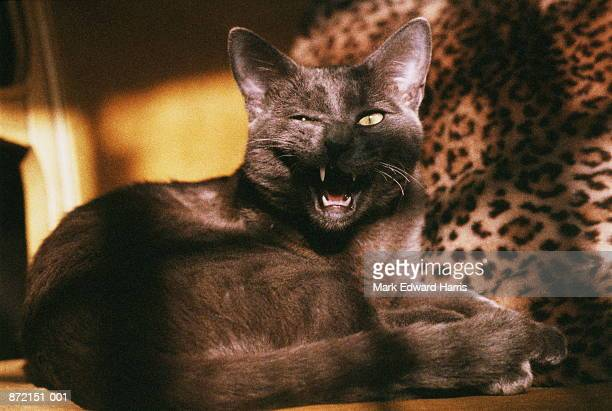 burmese blue cat lying down, close-up - burmese cat stock pictures, royalty-free photos & images