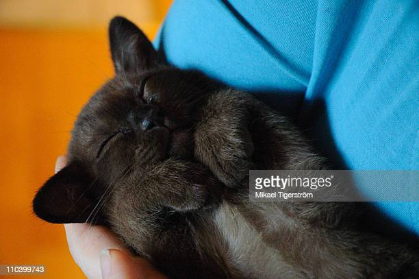 burmese brown kitten sleeping in human hand - burmese cat stock pictures, royalty-free photos & images