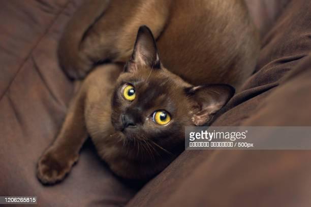 burmese cat laying on sofa - burmese cat stock pictures, royalty-free photos & images