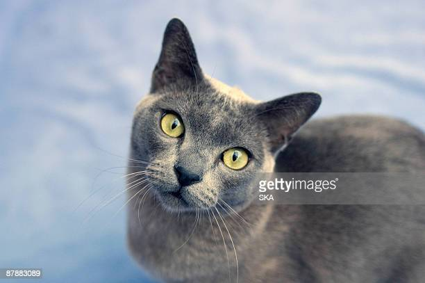 burmese cat looking to camera - burmese cat stock pictures, royalty-free photos & images