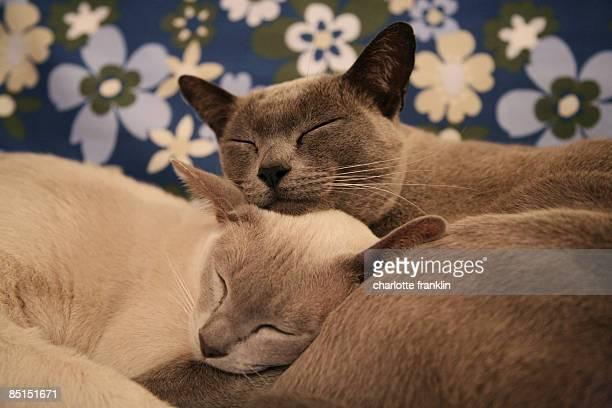 burmese cat love - burmese cat stock pictures, royalty-free photos & images