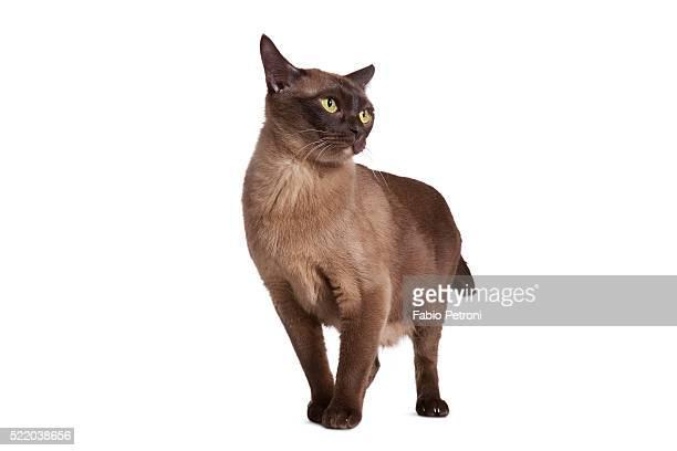 burmese cat - burmese cat stock pictures, royalty-free photos & images