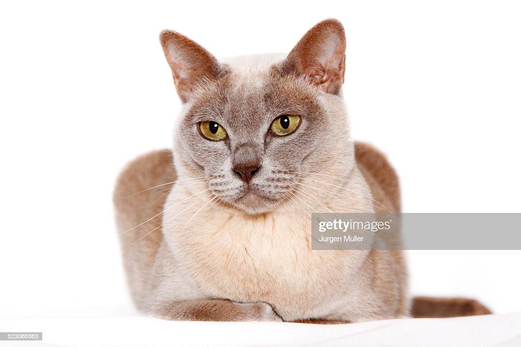 Burmese cat : Stock Photo