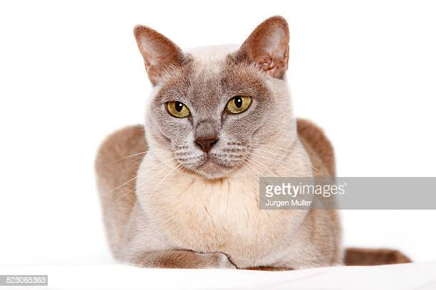 burmese cat - carnivora stock pictures, royalty-free photos & images