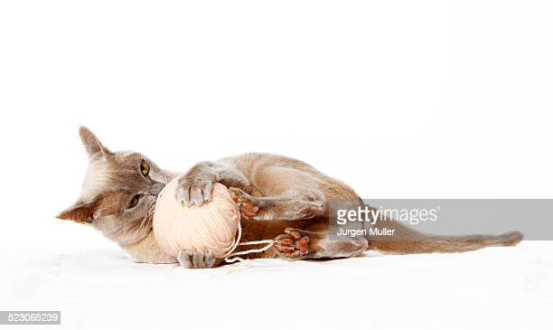 burmese cat playing with ball of wool - burmese cat stock pictures, royalty-free photos & images