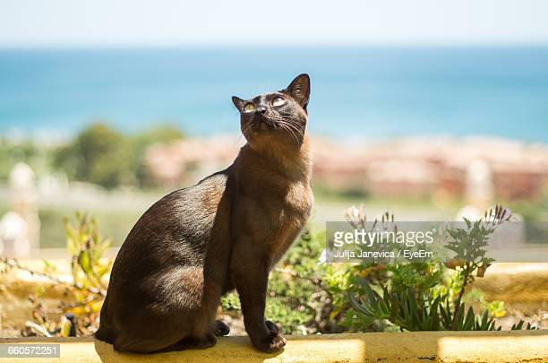 burmese cat sitting on retaining wall - burmese cat stock pictures, royalty-free photos & images