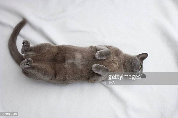 burmese cat with paw raised - burmese cat stock pictures, royalty-free photos & images