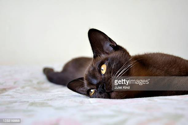 burmese cat, zimbabwe - burmese cat stock pictures, royalty-free photos & images