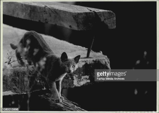Burmese cat.Stray cats living under No. 34 Pier, Darling Harbour. Miss Kay Nobbs is concerned that when the piers are demolished for the Darling...