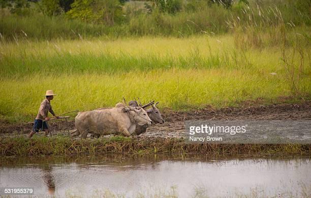 burmese farmer wth water baffalo in myanmar - 耕す ストックフォトと画像