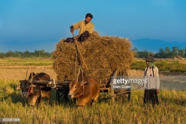 burmese farmers in a field - naypyidaw stock pictures, royalty-free photos & images