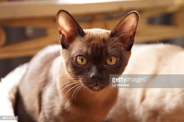 burmese kitten, close-up - burmese cat stock pictures, royalty-free photos & images