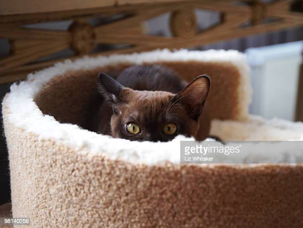 burmese kitten peeking over top of it's bed - burmese cat stock pictures, royalty-free photos & images