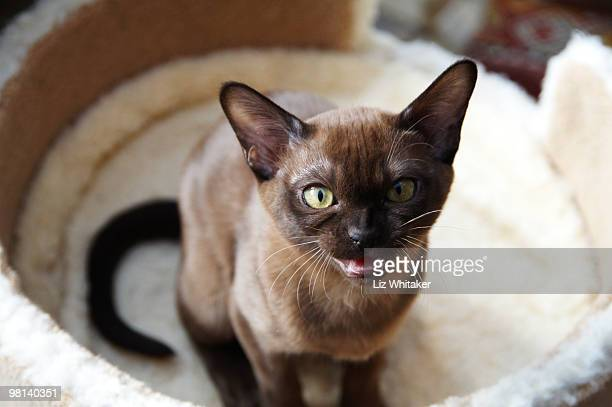 burmese kitten squeaking for attention - burmese cat stock pictures, royalty-free photos & images