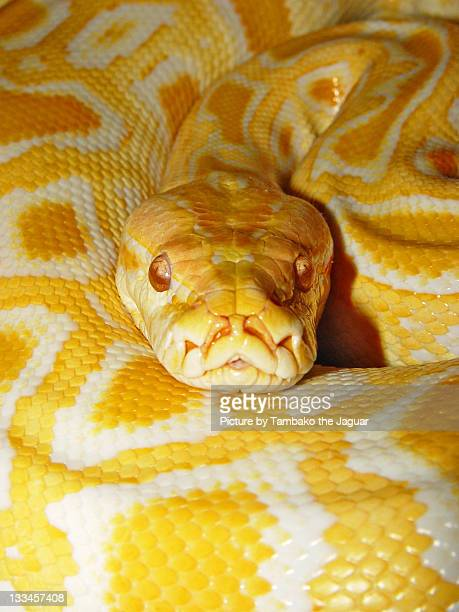 burmese python 4 - burmese python stock pictures, royalty-free photos & images