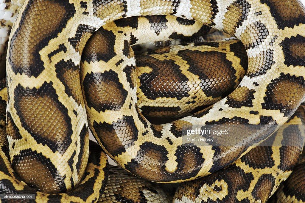 Burmese python, close up, overhead view, studio shot : Stock Photo