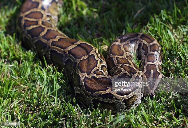 Burmese python is seen on display at the registration event and press conference for the start of the 2013 Python Challenge on January 12 2013 in...