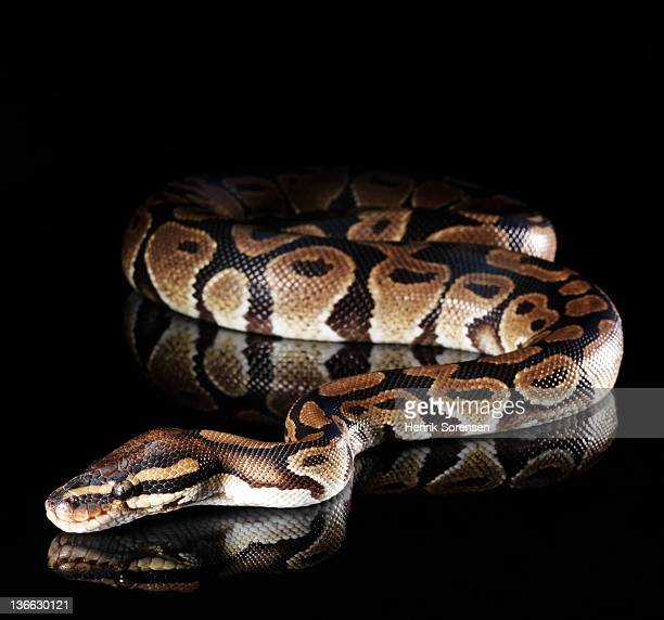 burmese python - burmese python stock pictures, royalty-free photos & images