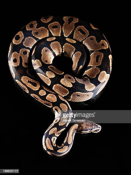 burmese python - indian python stock pictures, royalty-free photos & images