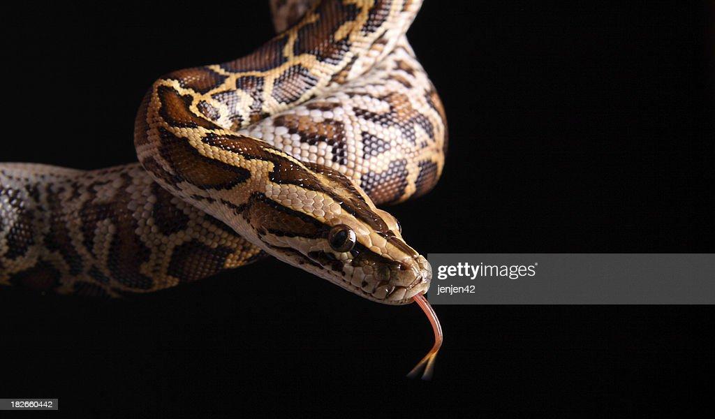 Burmese Python : Stock Photo