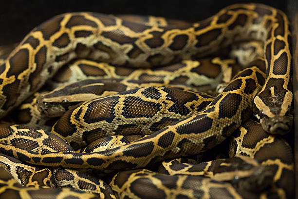 burmese python Information on keeping burmese pythons as pets, and their care, feeding, handling, temperament, plus substrate and temperature for their housing.