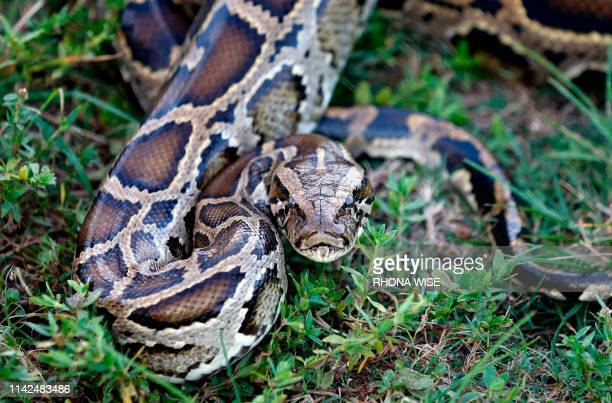 A Burmese python sits in the grass at Everglades Holiday Park in Fort Lauderdale Florida on April 25 2019 Along with the venomous lionfish the...