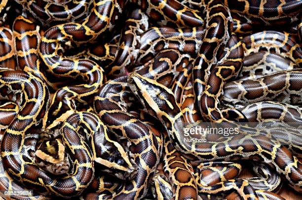 Burmese pythons at the Alipore Zoological garden in Eastern India city Kolkata on June 8 2017 This is the first time reticulated and Burmese pythons...