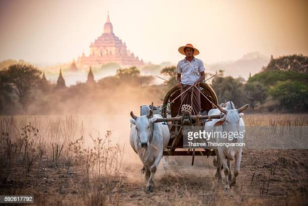 Burmese rural man driving wooden cart with hay on dusty road drawn by two white buffaloes