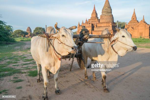 burmese rural wooden cart with hay on dusty road drawn by two white buffaloes - wild cattle stock photos and pictures