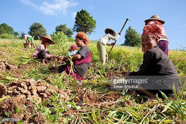 CONTENT] Burmese woman collecting curcuma plant on fields Shan State Burma or Myanmar
