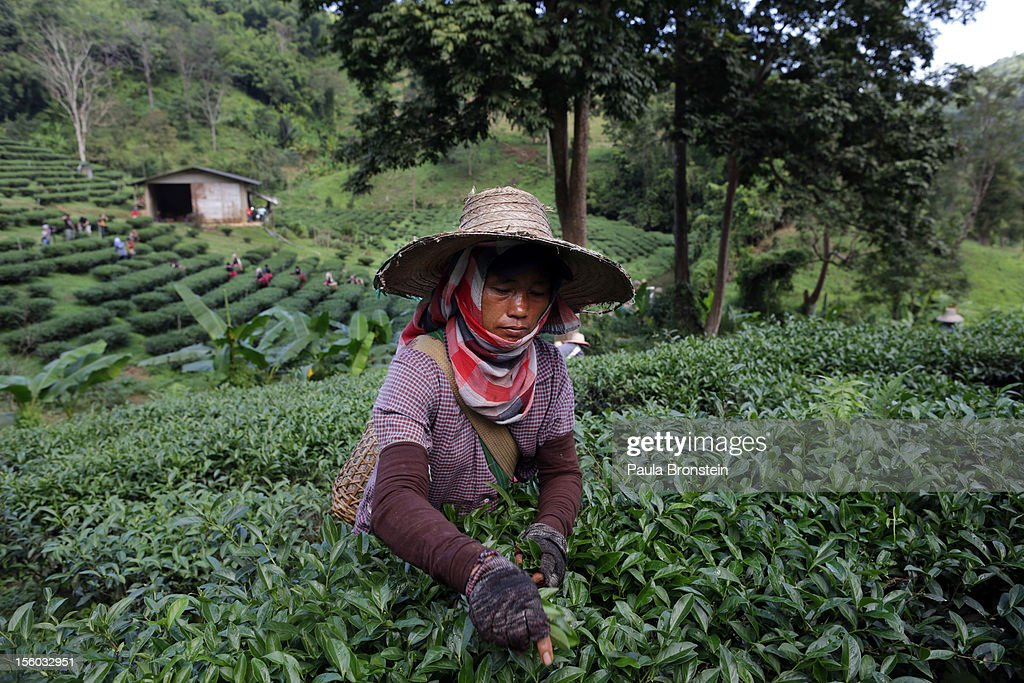 A Burmese woman picks Oolong #17 tea leaves during a harvest at the Suwirun Tea farm in the hills outside of Chaing Rai November 11, 2012 in Chiang Rai, Thailand. There are around 40 Akha hill tribe workers and 120 Burmese making 300 Bhat a day working on the family run Suwirun Organic tea farm. The farm has been in business around 38 years. The Tea is harvested every 45 days; collecting about 1.5 tons on average per harvest. On special occasions the Akha wear their traditional dress while picking tea. These days it is most commonly worn for tour groups and ceremonies.