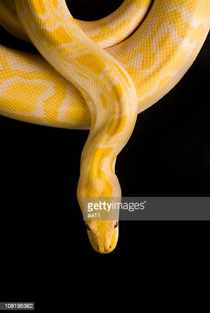 burmese yellow python, isolated on black - snake stock pictures, royalty-free photos & images