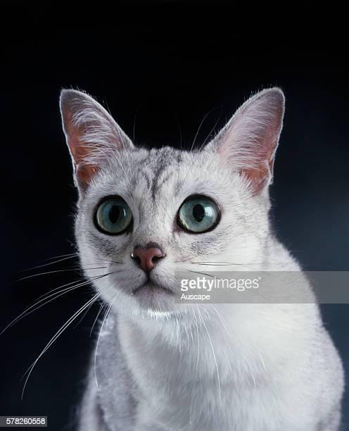Burmilla cat Felis catus staring with its large pale green eyes