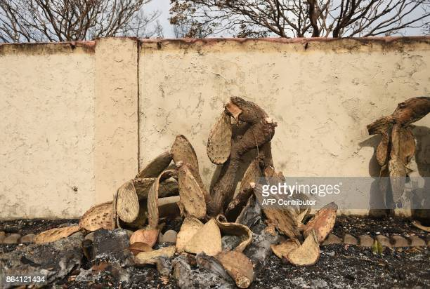 A burned cactus is seen at a residence in Santa Rosa California on October 20 2017 Residents are being allowed to return to their burned homes on...