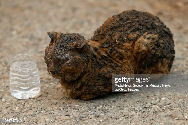 A burned cat waits for animal control to arrive after they were called by responders who discovered it near Bille Road in Paradise Calif on Sunday...